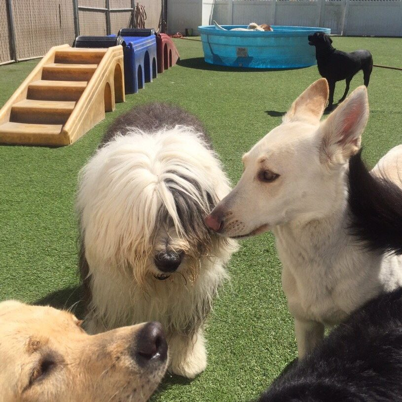 big dogs playing in dog day care
